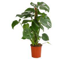 kokospalme ist eine bewundernswerte gr npflanze f rs zuhause for the home pinterest. Black Bedroom Furniture Sets. Home Design Ideas