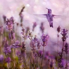 Colibris entre as lavandas. Os beija-flores são pássaros que podem voar tanto para  frente como para trás. Eles têm um controle tremendo sobre o seu vôo. Eles podem voar lado-a-lado e em linha reta, para cima e para baixo. Não só isso, eles podem pairar também, o que os torna diferentes das comunidades dos outros pássaros.
