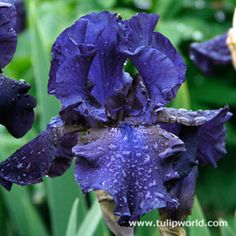 Dark Blue Iris -  Royal Touch Bearded Iris