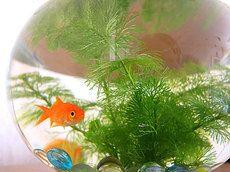 2013/8/12/ 金魚鉢の水温に注意!☆中華そば・翁介。