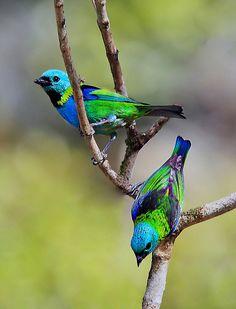 Saíra-sete-cores - Tangara seledon - Green-headed Tanager.