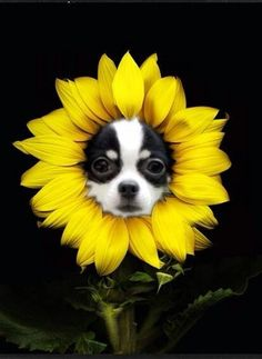 I'm half crazy over the love of you! #dogs #pets #Chihuahuas facebook.com/sodoggonefunny