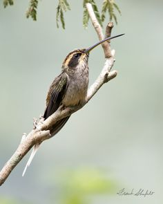 The Scale-throated Hermit (Phaethornis eurynome) is found in the Atlantic forest of southeastern Brazil, eastern Paraguay and northeastern Argentina,  They feed on nectar and insects. Their long curved bills are adapted to certain kinds of flowers. They inhabit the understory of humid forests. Their overall length is about 15 cm (6 inches). Discounting the proportionately long bill and tail they seem to me an average size hummingbird.  This image was taken at Parque Nacional do Itatiaia, RJ…