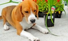 What Plants Are Poisonous To Dogs – Surprisingly Toxic Plants Your Beagle Should Avoid