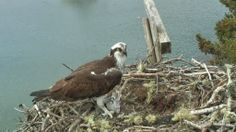 Rachel and Steve have returned to Hog Island! Head over to explore.org to check in on the osprey couple with our live bird cam.