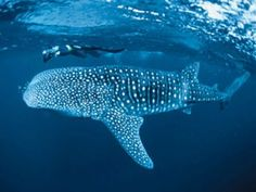Swim with whale sharks in Donsol, Philippines. Please go to: www.agmresort.com for more details. #Philippines #morefuninthephilippines