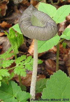 Coprinus lagopus mushroom