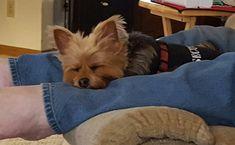 Snoozin on a Sunday afternoon.     Found at: https://itsayorkielife.com/tammys-bentley-4/  #Yorkies,#YorkshireTerriers,#Yorkielove,#ItsaYorkieLife