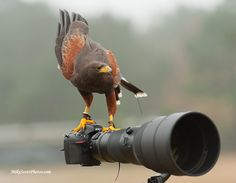 Harris Hawk Photog by MikeScottPhotos  on 500px