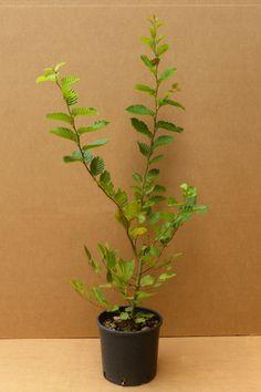 Carpinus Betulus Piante Coltivare Siepi