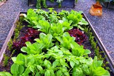 Lettuces and basil in my herb garden