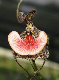 Dracula chestertonii - conocida como Piel de rana, es una especie de orquídea epifita originaria de Colombia. Florece en el verano y el otoño en una inflorescencia delgada. Se encuentra en Antioquia, Chocó y Valle de Cauca en Colombia en los bosques nubosos en las elevaciones de 1.500 a 2.200 metros.