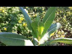 Αγριομάρουλο!!! - YouTube S Videos, Plant Leaves, Youtube, Plants, Planters, Plant, Planting