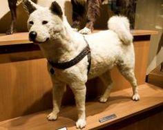 Hachiko 1923-1934. Body on display.