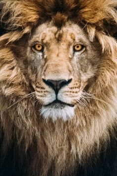 Portrait of a Beautiful Lion by Mike Kolesnikov*