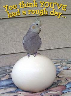 Rough Day - This really made me laugh.  When I'd take eggs out of the refrigerator and put them on the kitchen table, Squeaque would roll them around with her beak, trying to find a way to tuck them under her.