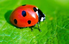 Ladybird facts for kids: Learn all about these brilliant bugs, with facts about the ladybird life-cycle, defence mechanisms, characteristics and habitat. Reptiles, Small Insects, National Geographic Kids, Siamese Fighting Fish, Facts For Kids, Animals Of The World, Our Lady, Home