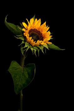 Tinnacriss — fotografiae: Sunflower by edcoenen. Sunflower Garden, Sunflower Art, Sunflowers And Daisies, Yellow Flowers, Images Of Sunflowers, Growing Sunflowers, Sun Flowers, Happy Flowers, Beautiful Flowers