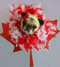 Happy Canada Day! Pug