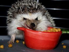 Crunchy hedgehog