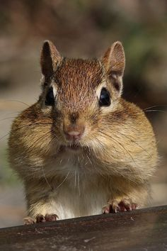 to many nuts... dont you think little chipmunk?