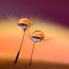 Dew drops on Dandelion fluff