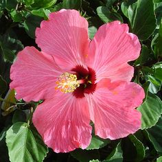Hibscus rosa sinensis BLOOMING TROPICAL HIBISCUS PLANTS