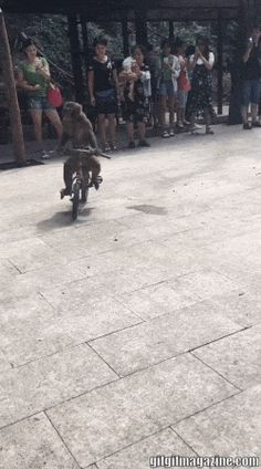 8c308fa4105b0 Watch Monkey rides a bicycle GIF by on Gfycat. Discover more GIFS online on  Gfycat
