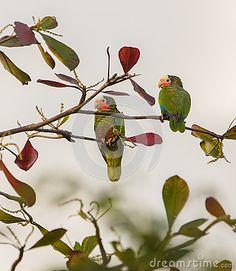 A couple of Cuban Amazon Parrots