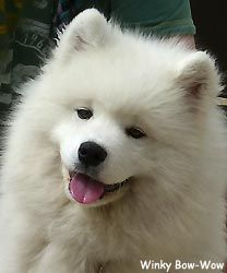 Samoyed Puppies, Fluffy Coat, Dogs Of The World, Winter Scenes, Adorable Animals, Dog Breeds, Cute Dogs, Dog Lovers, Heaven
