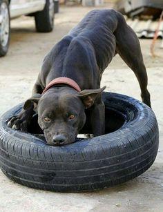 Black pitbull game