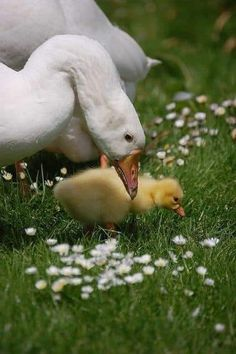 Country Farm, Country Life, Welcome Spring, Spring Colors, Baby Animals, Creatures, Bird, Ducks, Whisper