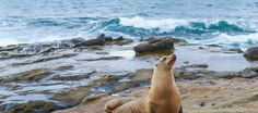 Learn how best to see the La Jolla seals and sea lions along the beach including who hangs out where and parking tips.