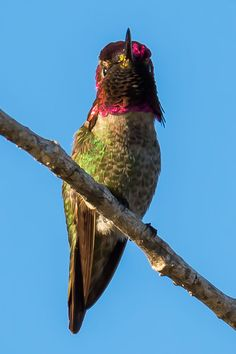 Red Faced Hummingbird by JoeyD on 500px