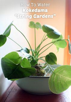 "How To Water Kokedama ""String Gardens"""