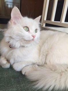 Пол Dream Home Pinterest - Meet the ridiculously fluffy kitty thats more cloud than cat