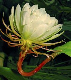 Epiphyllum Oxypetalum Flower