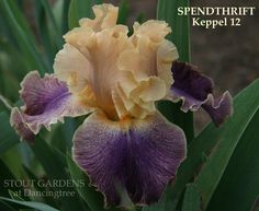 (Keith Keppel 2012) TB iris, 36 (91 cm), EM S. leghorn buff shaded pastel violet toward center; F. purple lightening to away from center, narrow buff edge and faint veining, light apricot around ivory