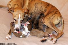 Tappinskis Rubi For Dogarium and her 1 day old puppies <3