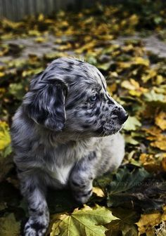 Oh my GOOD gracious, look how ADORABLE. Australian Shepherd Pup.