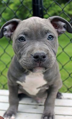 We are blue nose pitbull breeders who offer a 2 year health guarantee on all of our baby pitbulls for sale. For amazing blue nose pitbull puppies for sale shipped throughout the United States and Canada -Call Blue Staffy Puppy, Pitbull Breeders, Blue Nose Pitbull Puppies, Pitbull Blue, Pitbull Terrier Puppies, Pitbull Dog Puppy, Pitbull Puppies For Sale, Pit Puppies, Staffy Dog