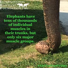Happy EleFunFactFriday! Elephants have tens of thousands of individual muscles in trunks, but 6 major muscle groups