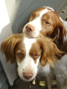 Sweet love! #dogs #pets #BrittanySpaniels facebook.com/sodoggonefunny