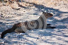 Photo about Banded Mongoose at Etosha Park. Image of wildlife, etosha, mungos - 25963044 Mongoose, Wildlife, Southern, Africa, Stock Photos, Band, Animals, Image, Animales