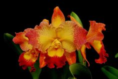 Орхидея (Orchid in Cyrillic)