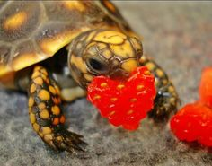 Happy World Turtle Day! Here Are Some Photos Of Turtles Eating Strawberries - AWW - - The post Happy World Turtle Day! Here Are Some Photos Of Turtles Eating Strawberries appeared first on Gag Dad. Red Footed Tortoise, Baby Tortoise, Tortoise Turtle, Sulcata Tortoise, Cute Tortoise, Les Reptiles, Cute Reptiles, Reptiles And Amphibians, Sea Turtles