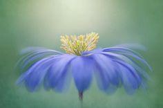 Anemone Blanda Photograph - Winter Windflower by Jacky Parker