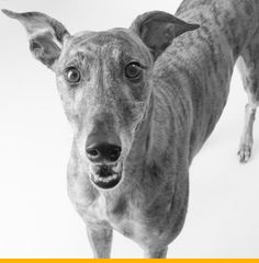 Greyhound.  {Anderson Photography}
