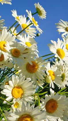 daisies, flower, sky, sunny, summer