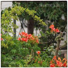 fiori di luglio – bignonia (campsis radicans) – un giardino in diretta Un'altra fioritura che in luglio non può mancare agli occhi di un giardiniere goloso come me è quella della bignonia (campsis radicans). Un' esplosione di colore rosso-arancio sullo